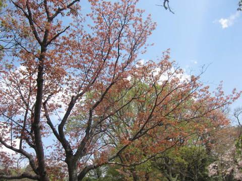 森林若葉.JPG