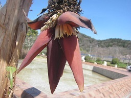 温室の花・バナナの花.JPG