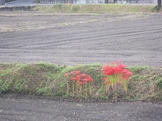畔のヒガンバナ・1.JPG