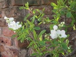 白い花・2.JPG
