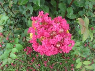 百日紅の花2.JPG