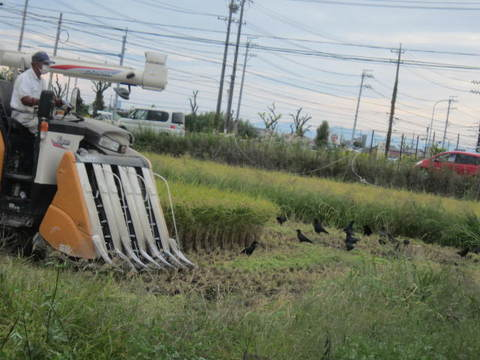 稲刈り・カラス3.JPG