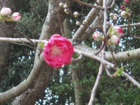 紅桃.JPG