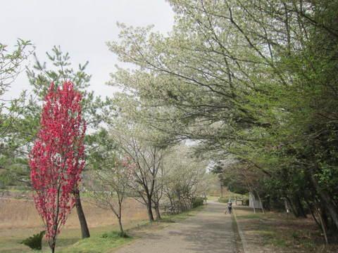 維摩池ハナモモ・2.JPG
