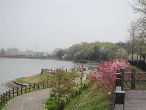 維摩池ハナモモ・6.JPG