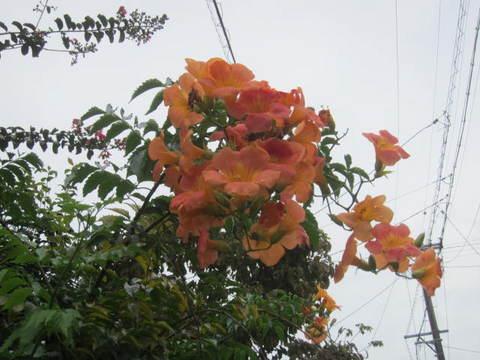 花・ノーゼンカツラ2.JPG