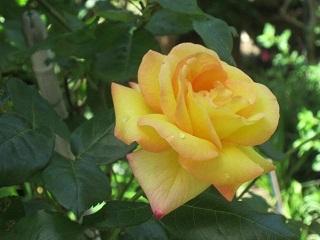 薔薇.JPG