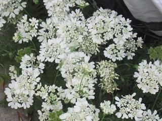薔薇の家・白い花.JPG