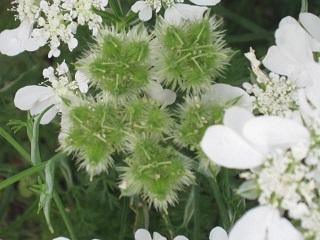 薔薇の家・白い花1.JPG