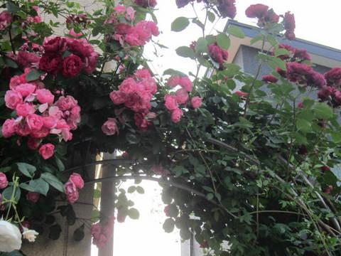 薔薇の家・1.JPG