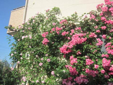 薔薇の家・2.JPG