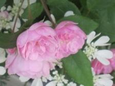 薔薇の家・3.JPG