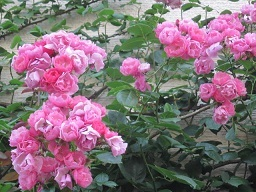 薔薇の家・5.JPG