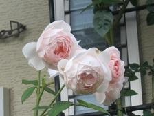 薔薇の家・6.JPG