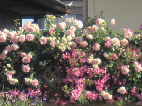 薔薇の家・6-1.JPG