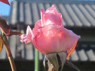 薔薇・ピンク1.JPG