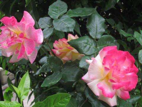 薔薇・地り際1.JPG