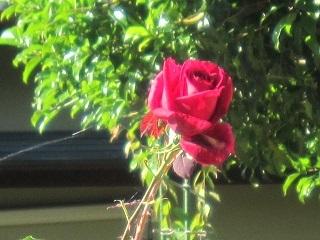 薔薇・赤2.JPG