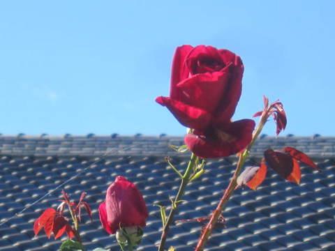 薔薇・赤3.JPG