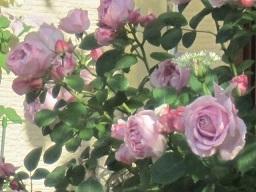 薔薇・4.JPG