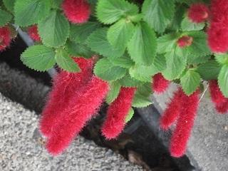 赤い花・1.JPG