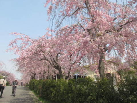 通りの枝垂れ・2.JPG