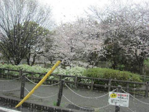 雨の城山さくら.JPG