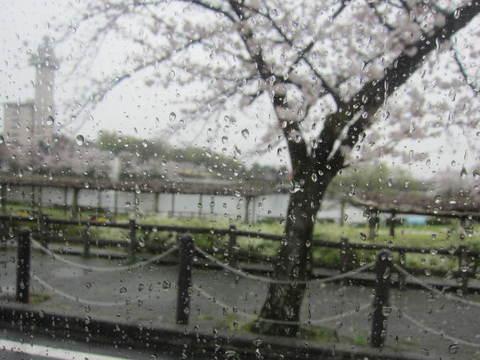 雨の城山さくら・1.JPG