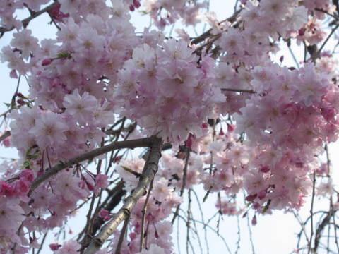 駐車場桜・アップ5.JPG