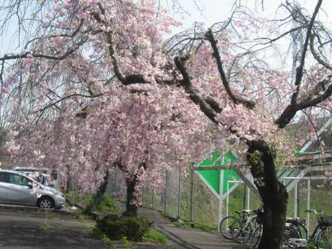 駐車場桜・1.JPG