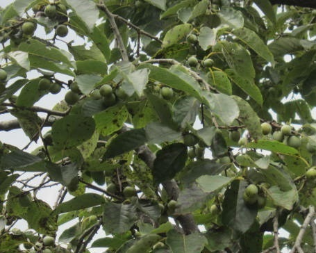 黒柿・1.JPG